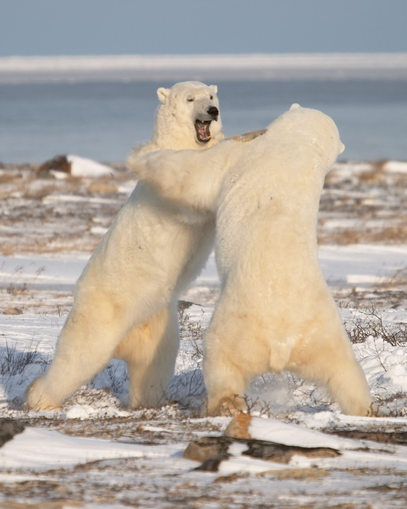 Churchill polar bears spar for dominance.