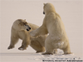 churchill-polar-bears-classic-slideshow