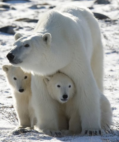 Mother polar bears avoid having their cubs swim in the ocean until they have the fat reserves to protect them. Jonathan Hayward photo.