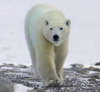 Churchill polar bear in action