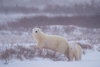 Churchill polar bear mother and cub.