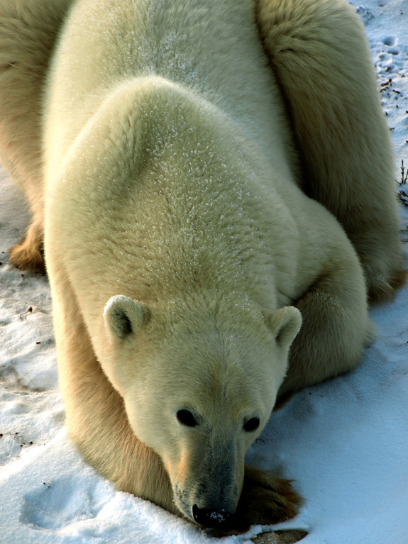Bo Durkee churchill polar bear photograph