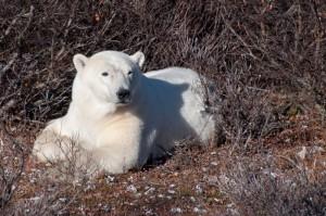 Churchill polar bear in willows.