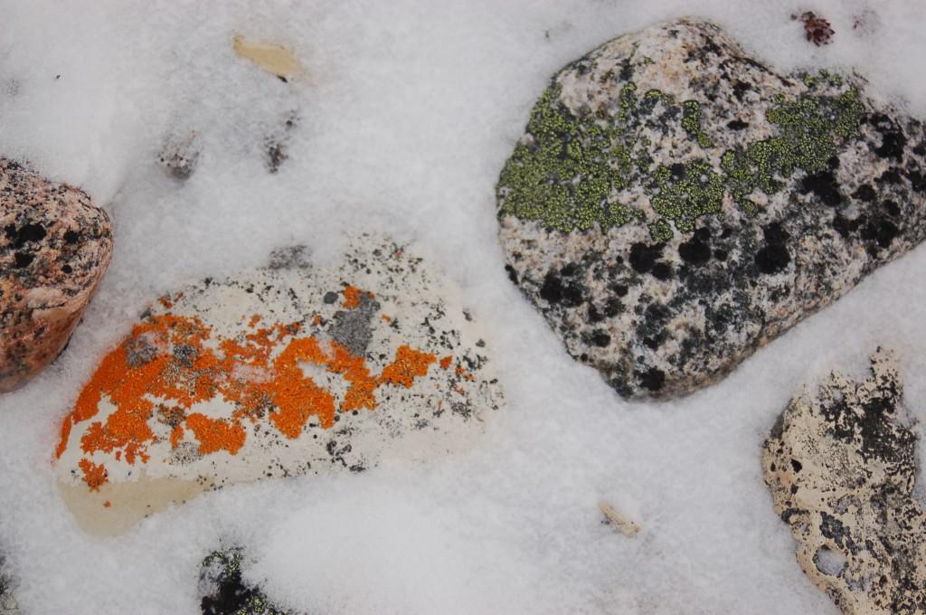 Lichens in Churchill, MB.