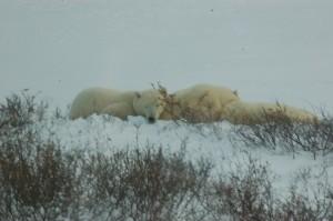 Churchill polar bears..sow and cubs.