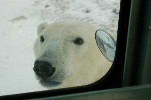 Churchill polar bear on rover.