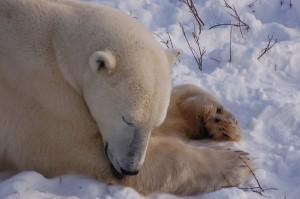 Churchil polar bears.