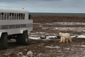 Churchill polar bear.