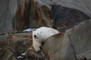 Churchill polar bear in rocks.