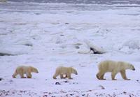 Churchill polar bears arriving