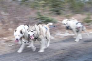 Churchill sled-dogs.