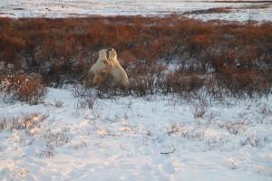 Sparring Churchill Polar bears.
