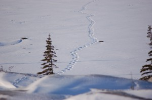 Churchill polar bear tracks.