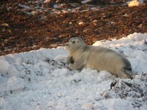 Seal in inter tidal zone in Churchill.
