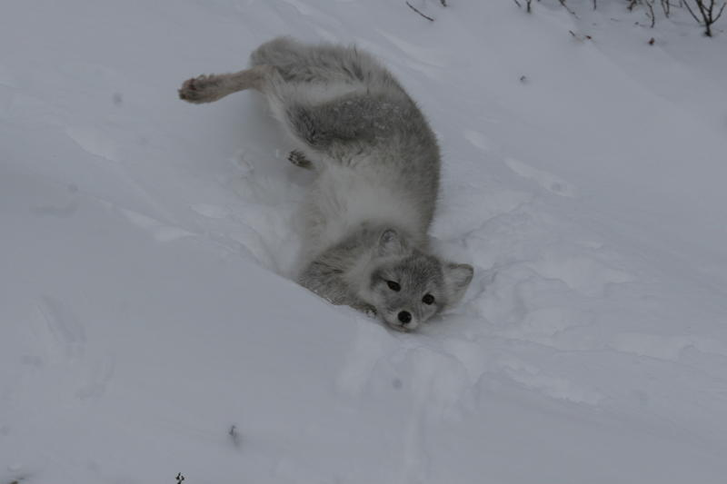 Arctic fox in Churchill, MB.
