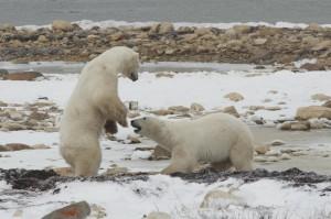 Churchil polar bears sparring.