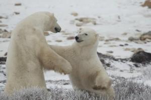 Churchill polar bears sparring.