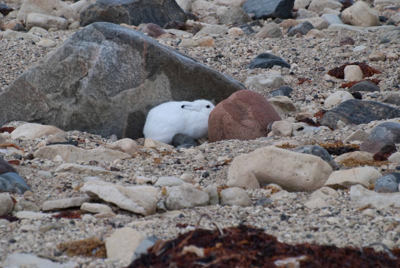 Arctic hare.Churchill, Manitoba.