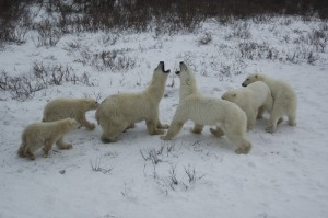 Churchill polar bears.