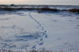Churchill polar bear tracks.