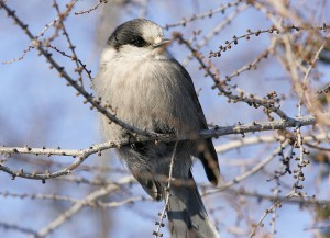 Gray jayin Churchill, mb