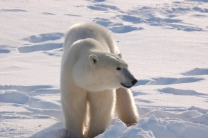 Churchill polar bear heading to ice.
