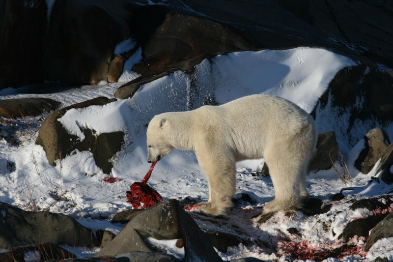 Churchill polar bear chewing the seal fat from a kill.