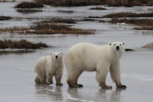 Churchill polar bear mom and cub.