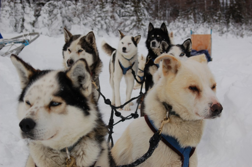 Churchill sled dogs.