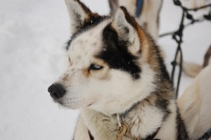 Churchill sled dog.