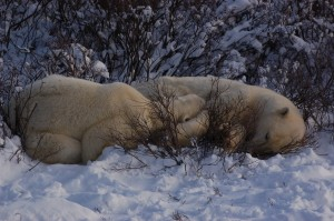 Sow and cub polar bear nursing.