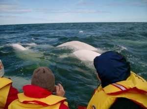 Beluga's in CHurchill River.