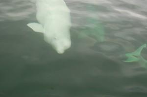 Churchill beluga whale.