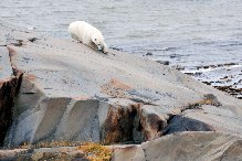 Churchill polar bear stretched out on pre-cambrian shield.
