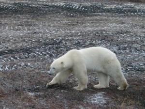 Polar bear near Churchill, MB