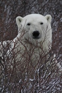 Churchill polar bear near lodge.