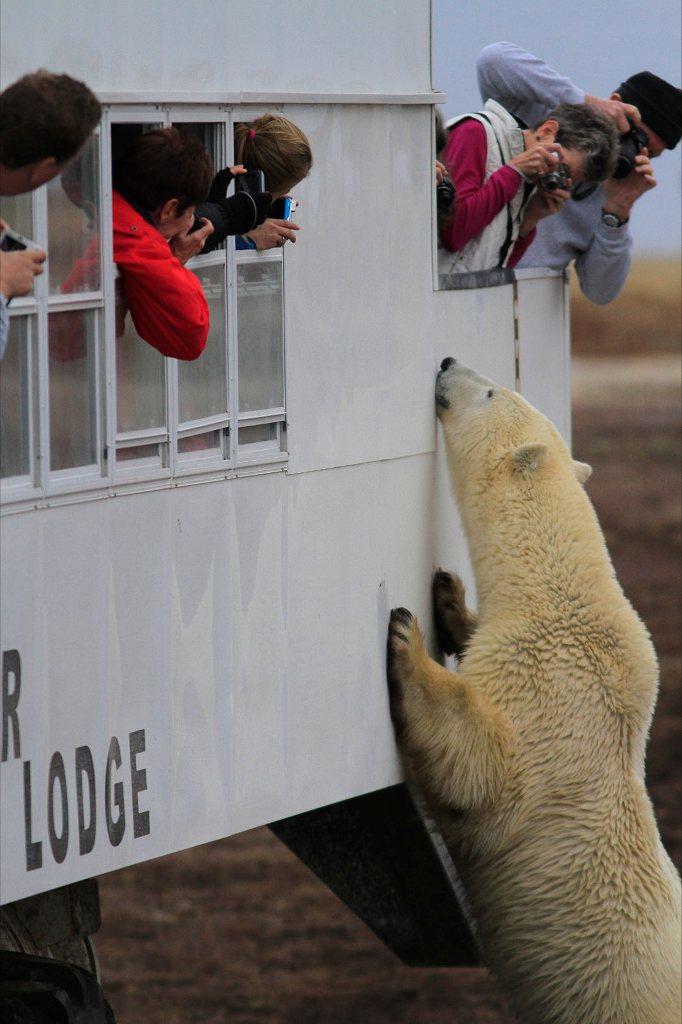 Churchill polar bears on rover.