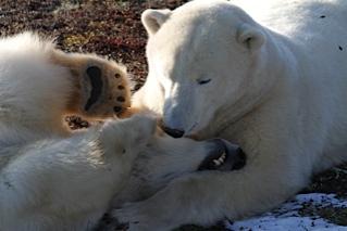 Churchill polar bears wrestling.