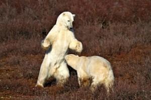 Sparring polar bears near tundra lodge, Churchill, MB
