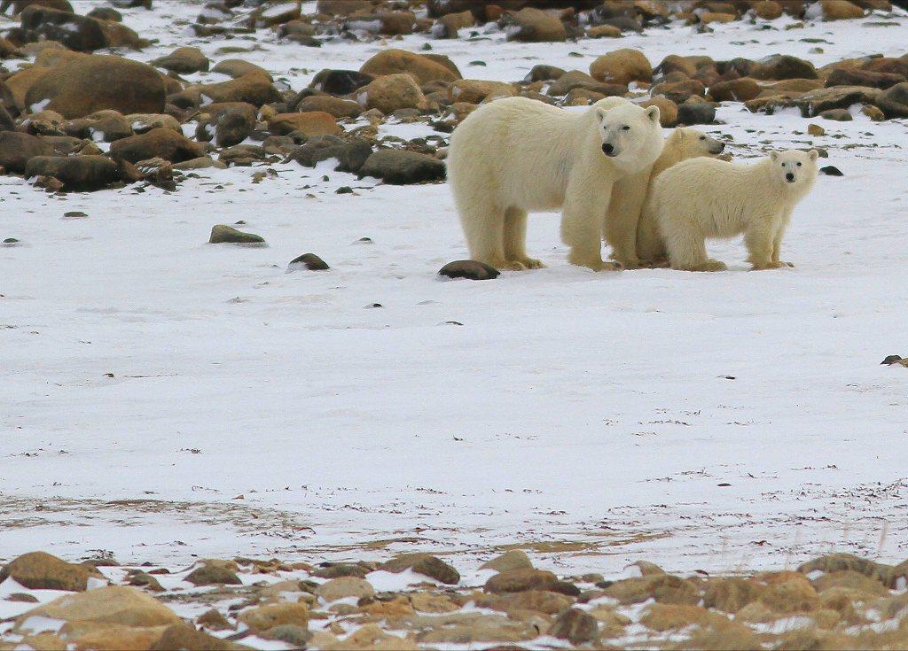 Churchill polar bears.