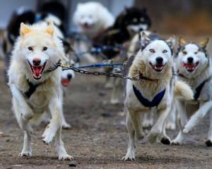 Husky sled dogs.