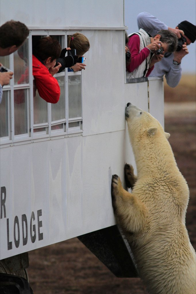 polar bear on Tundra Lodge