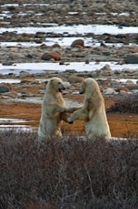 polar bears sparring.