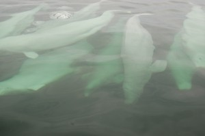 Pod of beluga whales in Churchill River.