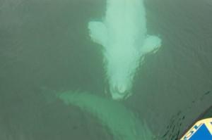 Beluga whale under water,