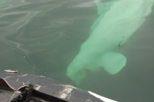 Beluga whale in Churchill River.