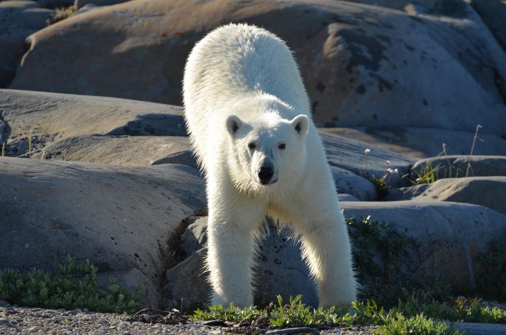 Summer polar bear in Churchill.