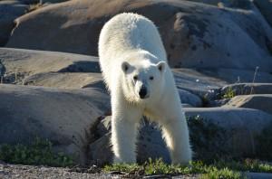 Churchill polar bear on the hudson Bay coast.