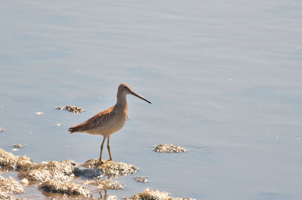 Hudsonian godwit on the Churchill shore.