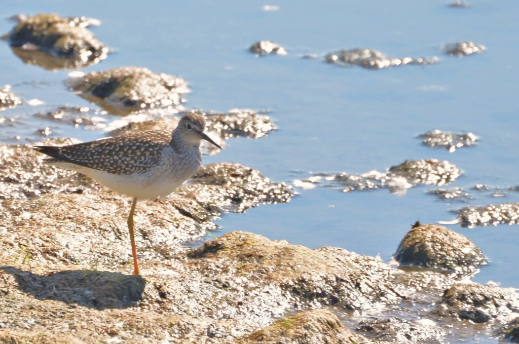 lesser yellowlegs in Churchill,MB